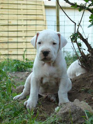 Chiot dogo male